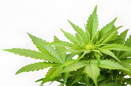 Marijuana Plant - Mary Jane